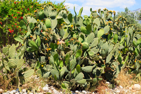 Many Opuntia cacti growing along road in Antalya region, Turkey Banque d'images