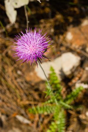 Closeup of Carduus plant flower Banque d'images