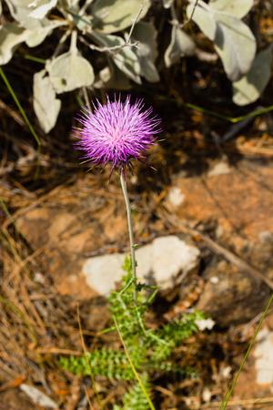 Carduus plant flower (plumeless thistle)