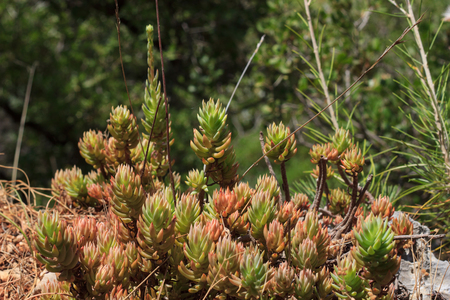 Succulents growing in forest near Antalya Banque d'images