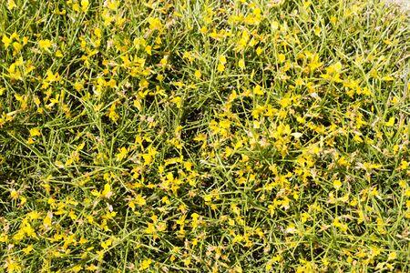 Genista, spiky shrub with yellow flowers, common near coast of Mediterranean Turkey