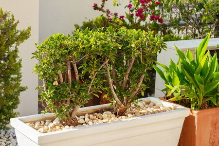 Trimmed decorative shrub in white flowerpot