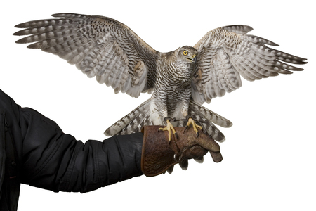 hawk  spreading wings sitting on leather glove, isolated on white background Stock Photo