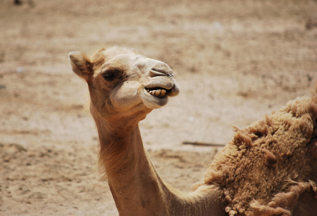 funny closeup portrait of camel head chewing at desert, looking in camera
