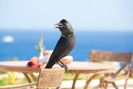 wild black raven sitting on chair nature background closeup