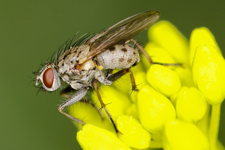 Flesh fly photo