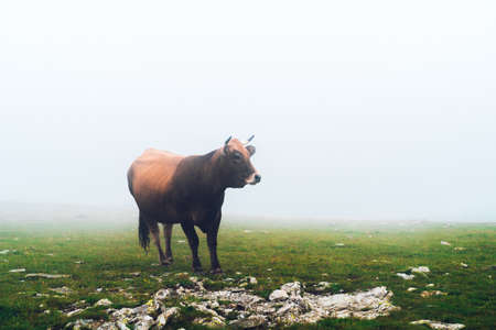 Cow grazing freely on the mountain in the fog. Cow on green pasture. Ecological livestock. Meat production concept.