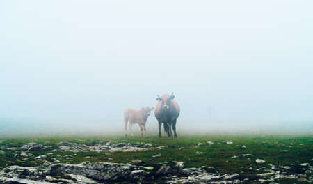 Cows grazing freely on the mountain in the fog. Cow and calf on green pasture. Ecological livestock. Meat production concept.