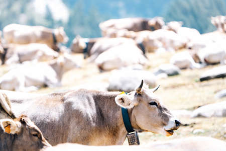 Cows grazing freely in the mountains in a meadow. Beef cattle pastures. Organic livestock. Meat production concept. Standard-Bild