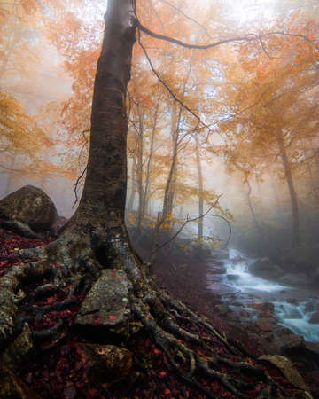 Ancient tree with impressive roots. Landscape of an autumn forest with fog and fall colors. Beech forest with a beautiful river. Montseny natural park, Barcelona, Catalonia.