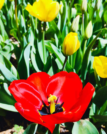 Red tulip flower, floral background. Close up view. Saturated photo of a field with flowers. Nature and spring concept.