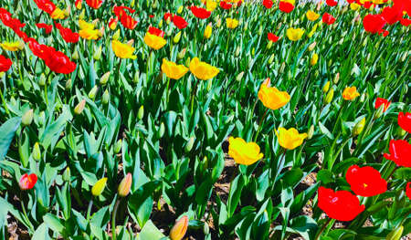 Spring meadow with a lot of red and yellow tulip flowers, floral background. Saturated photo of a field with red and yellow flowers. Nature concept