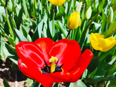 Red tulip flower, floral background. Close up view. Saturated photo of a field with flowers. Nature and spring concept. Springtime.