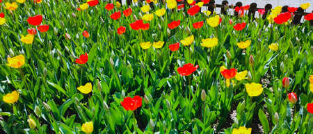 Spring park with a lot of red and yellow tulip flowers, floral background. Saturated photo of a field with red and yellow flowers. Nature concept. Springtime