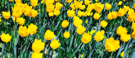 Spring meadow with a lot of yellow tulip flowers, floral background. Saturated photo of a spring field with yellow flowers. Nature concept. Arrival of good weather.