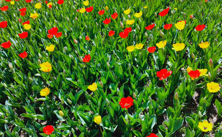 Saturated photo of a field with red and yellow flowers. Nature concept. Springtime.