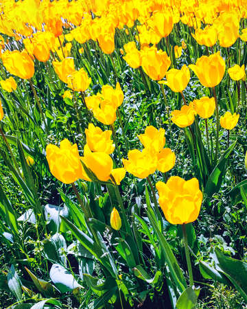 Yellow tulip flowers, floral background. Close up view. Saturated photo of a field with yellow flowers. Nature and spring concept. Arrival of good weather. 免版税图像