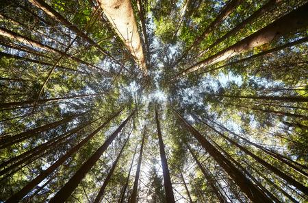 Vista del bosque de pinos hacia arriba