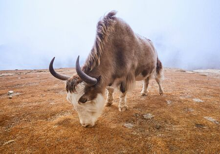 Yak on the way to Everest base camp. Nepal, Himalayas mountains