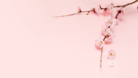 Spring blossoms blooming isolated on pink background, close up copy space, flowers tree branch blooming. Pastel pink background, bloom delicate flowers. Springtime concept.