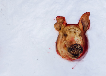 cut off pig's head lying on the snow