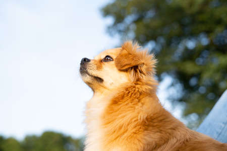 red dog looks into the distance against the background of nature. 免版税图像