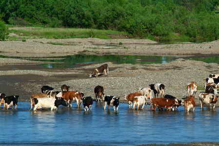 Herd of cows hot day about the river Stock Photo