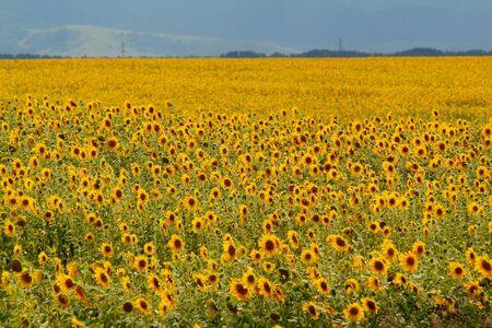 The whole field of beautiful sunflowers Stock Photo