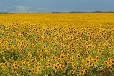 The whole field of beautiful sunflowers Stock Photo