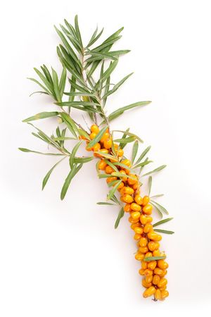 Ripe berries of sea-buckthorn berries