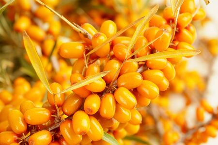 sallow: Ripe berries of sea-buckthorn berries