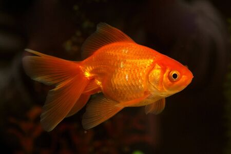 Gold small fish in an aquarium