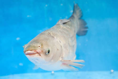 The silver carp floats in an aquarium photo