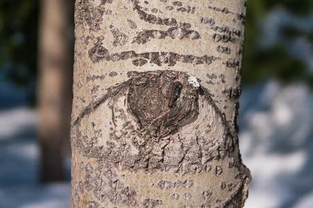 Tree with eyes. Knots, similar to eyes Stock Photo