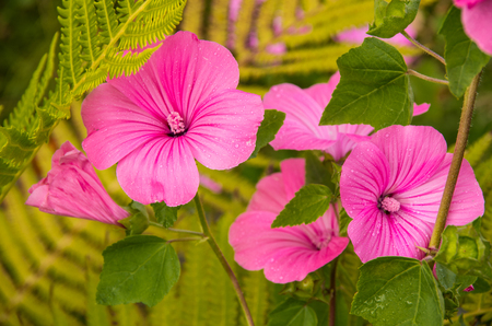 Drops of morning dew on beautiful pink flowers on a background of greens Stock Photo