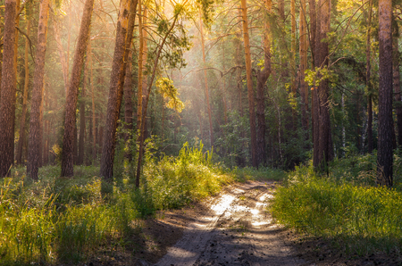 Sun rays penetrating through the pine branches early in the morning in the forest Stock Photo