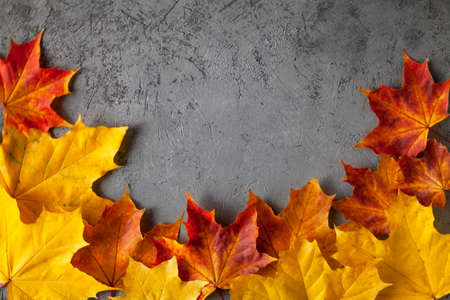 Pattern made of minimal composition of colorful marple fall leaves on gray concrete wall. closeup Frame Autumn concept. Flat lay copy space for text. Imagens