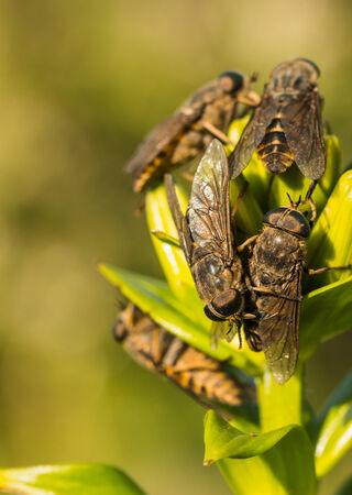 life extension: Horseflies