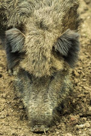 Head of wild boar