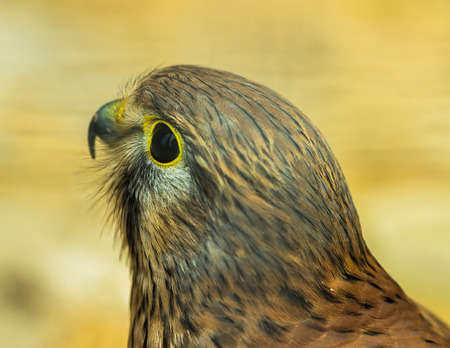 Head of Kestrel