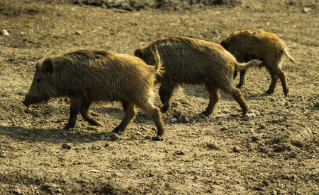 Young Wild boars