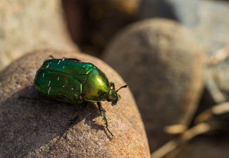 Big green beetle Stock Photo