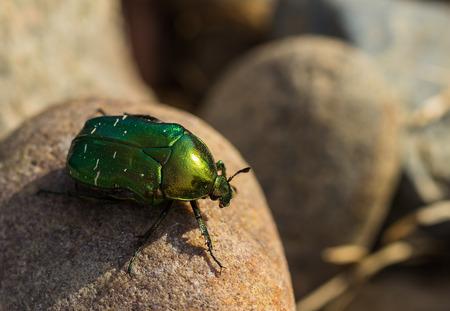 Big green beetle Stock Photo