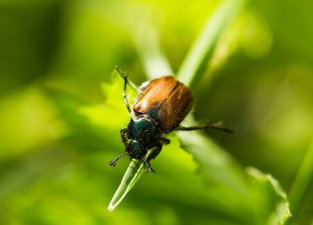 Beetle on a grass