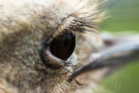 Eye ostrich