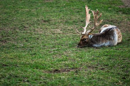 Fallow deer lying Stock Photo