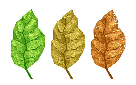 Three vector tobacco leaves with veins