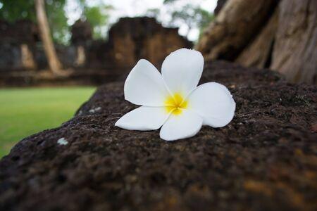 leelawadee: Leelawadee flowers Stock Photo