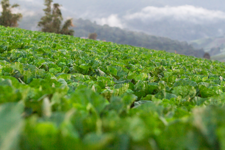 garden green: Garden green lettuce