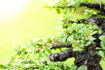 Bonsai tree in the garden, image use for planted to decorate. Stock Photo